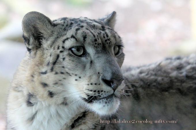 Snowleopard_covo201612