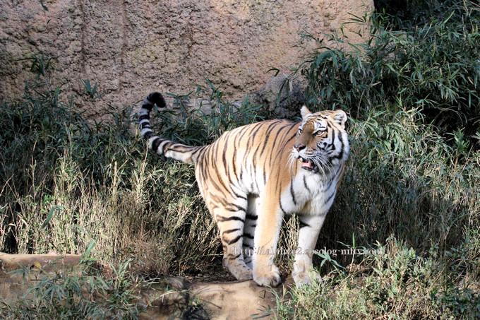 Tiger201611