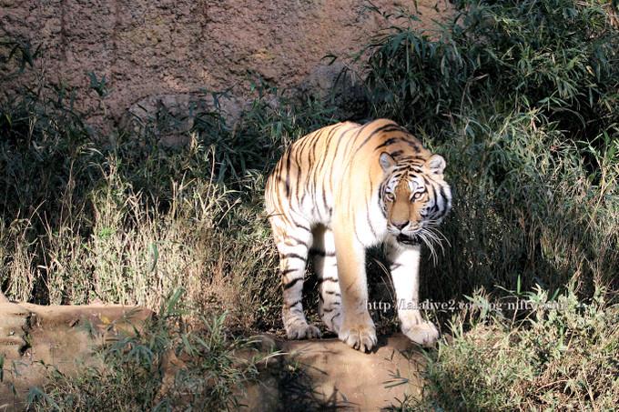 Tiger2016111