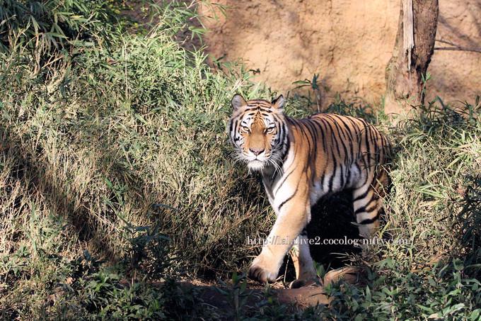 Tiger2016113
