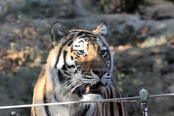 Tiger2016114