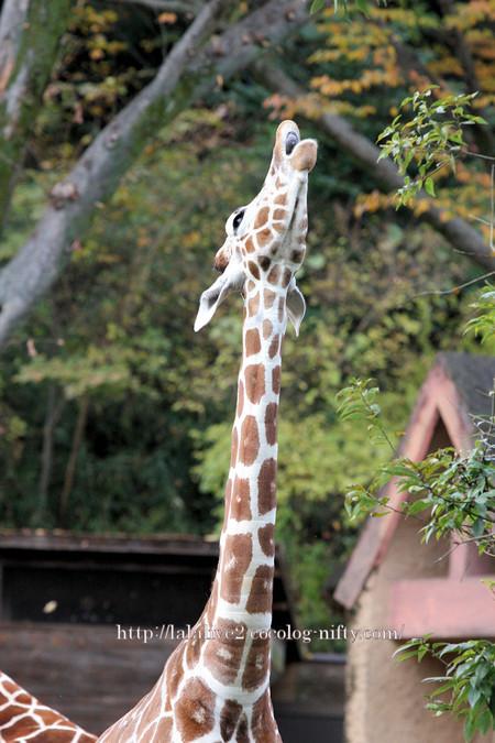Giraffe2016111_2
