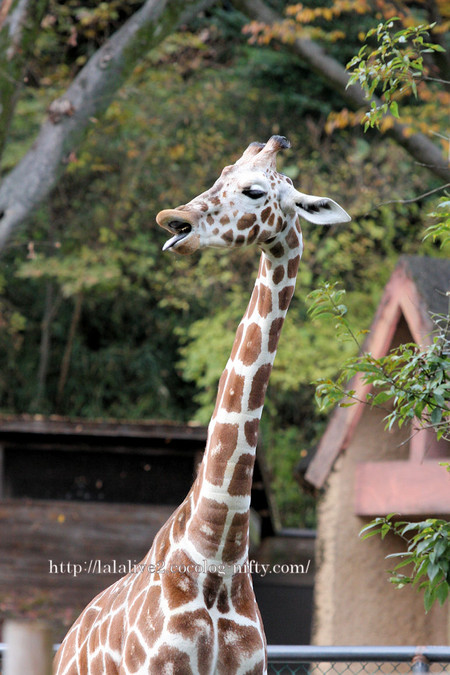 Giraffe2016112