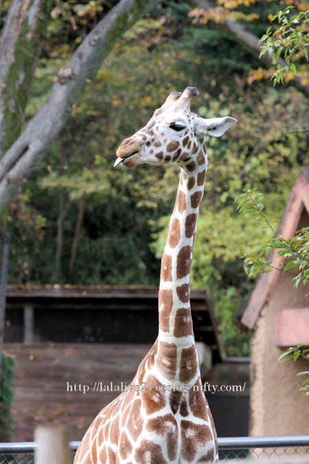 Giraffe2016113