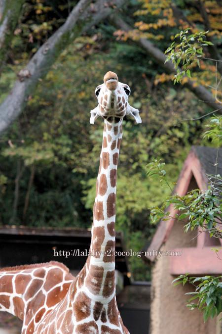 Giraffe201611_2