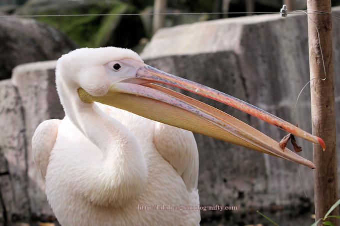 Pelican201611