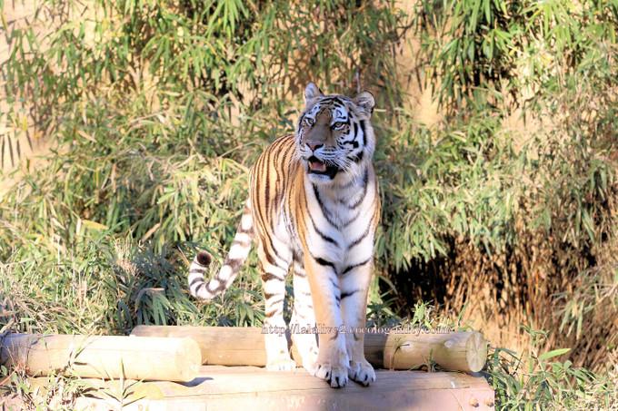 Tiger201612