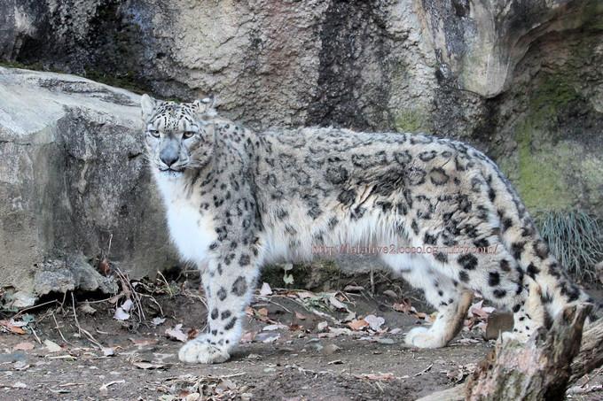 Snowleopard_covo2016126