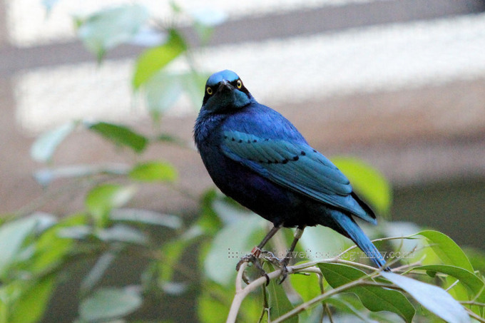 Greater_blue_eared_glossy_starling2