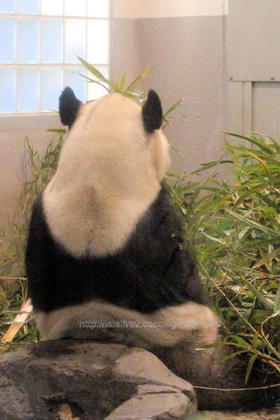 Giant_panda201702