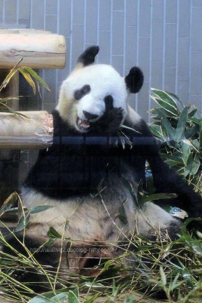 Giant_panda2017021