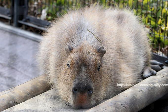 Capybara201703