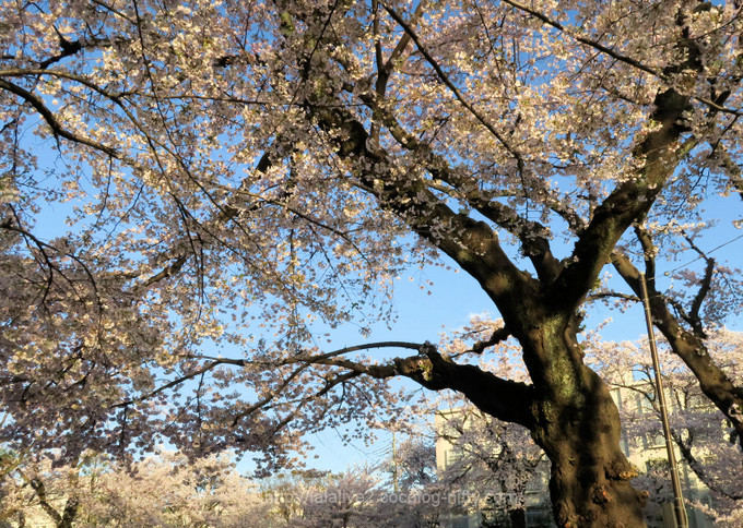 Cherry_blossoms_20171