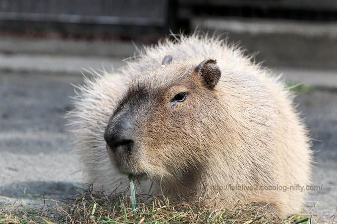 Capybara2017031