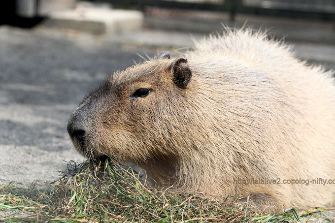 Capybara2017032