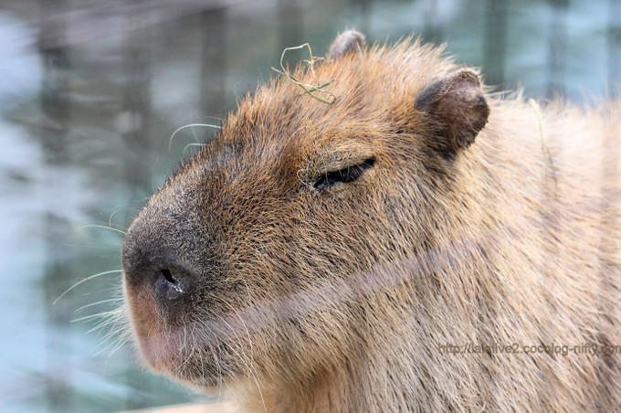 Capybara2017033