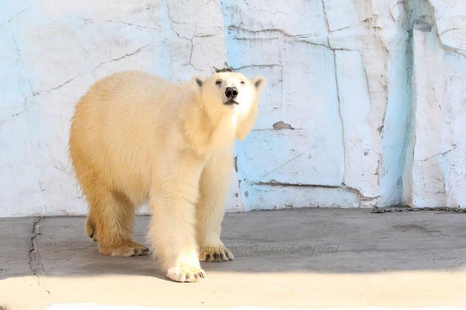 Polar_bear201702