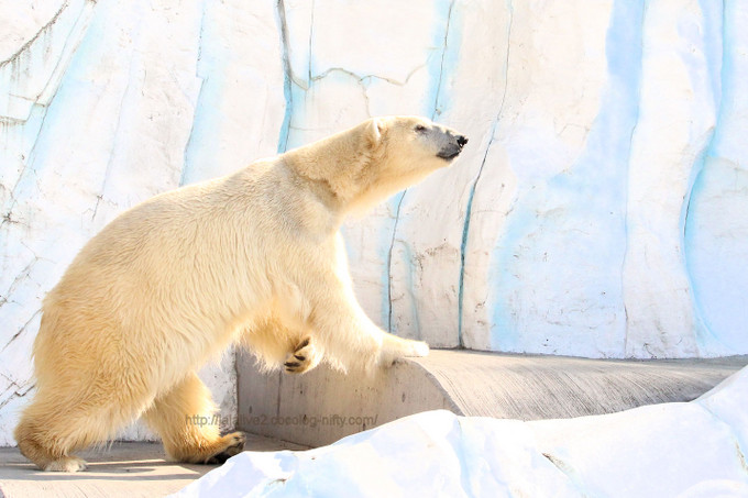 Polar_bear2017022