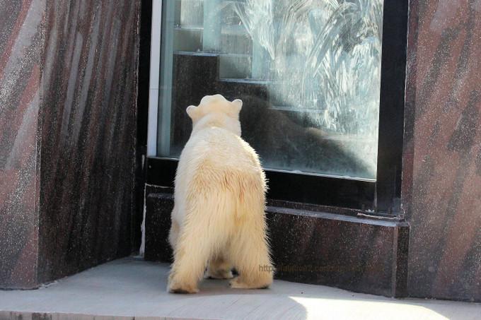 Polar_bear2017023