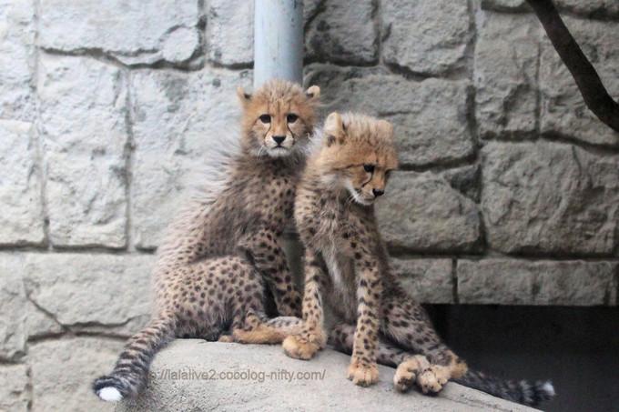 Cheetahs201705