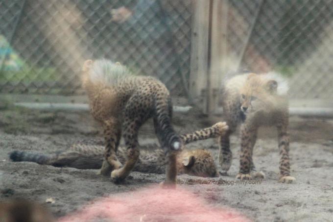 Cheetahs2017051