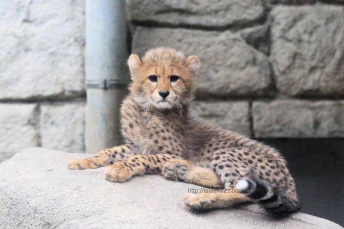 Cheetahs2017052