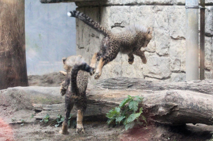 Cheetahs2017053