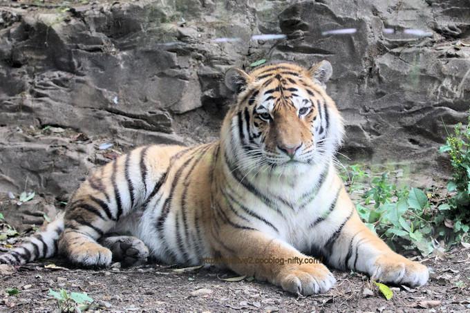 Tiger201705