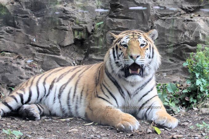 Tiger2017051