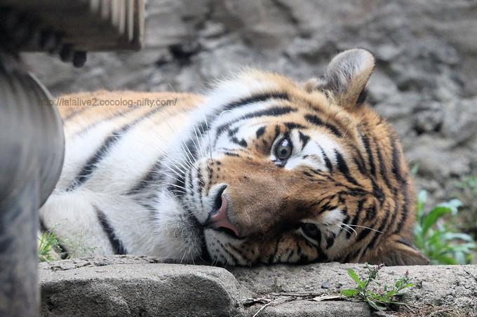 Tiger2017052