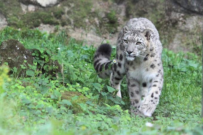 Snowleopardasahi201705