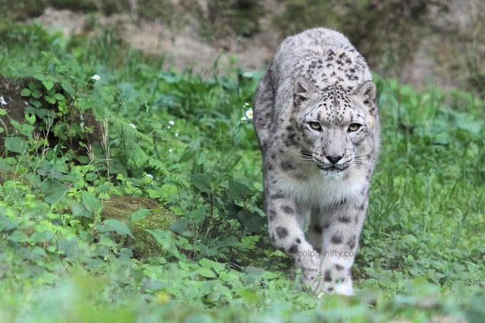 Snowleopardasahi2017051