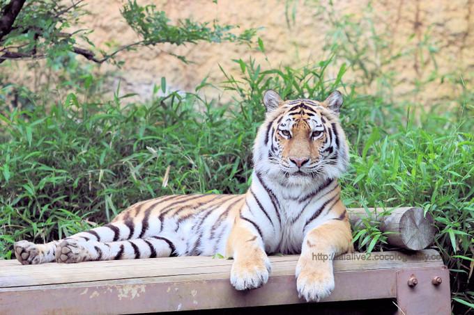 Tiger201705ai_2