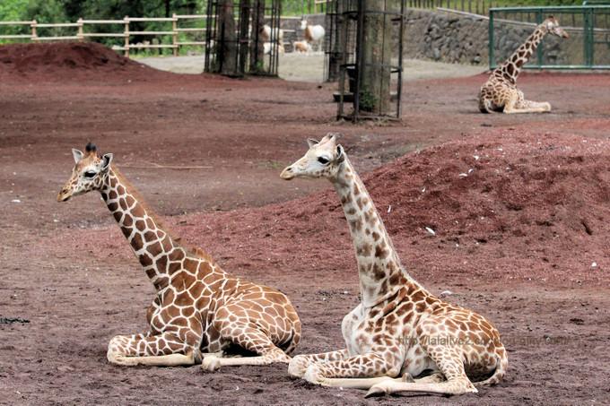 Giraffe201705