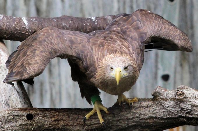 Whitetailed_eagle201706
