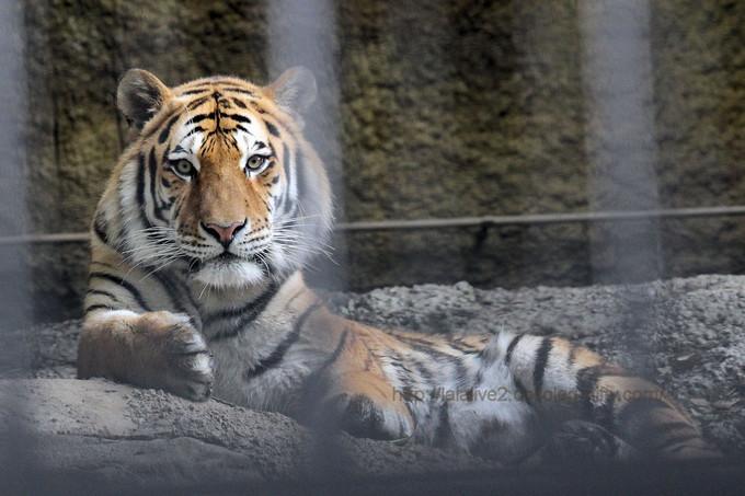 Tiger201706