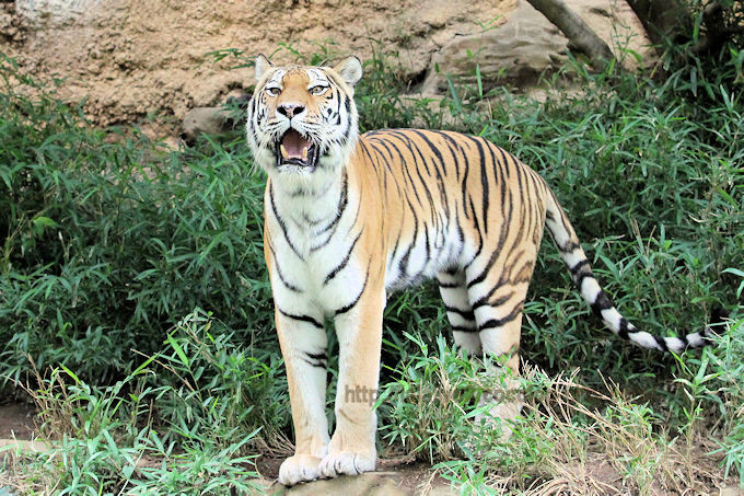 Tigershizu2017062