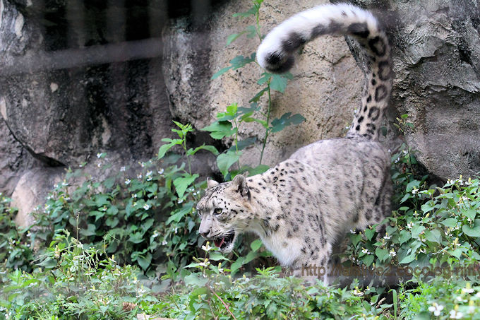 Snowleopardmirucha2017062