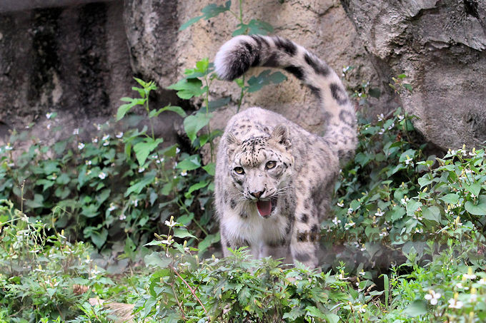Snowleopardmirucha2017063