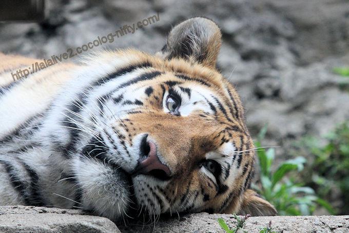 Tiger2017055
