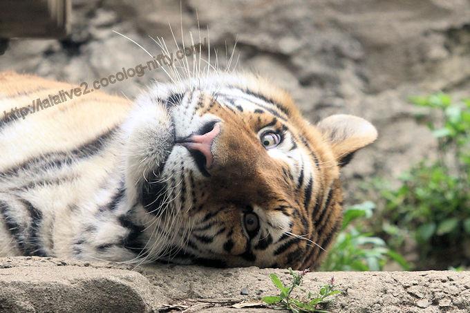 Tiger2017056
