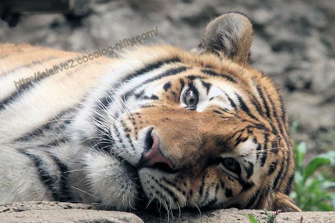 Tiger2017057