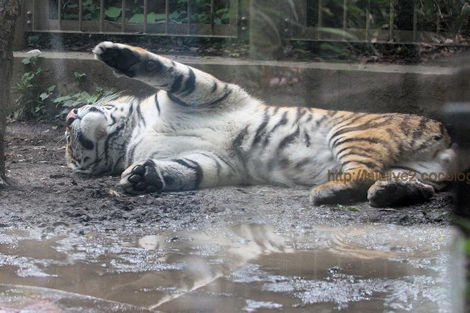 Tiger2017058