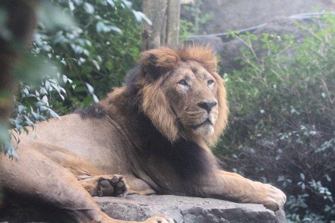 Lion201709