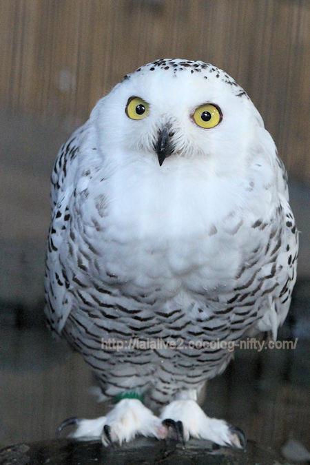 White_owl201709