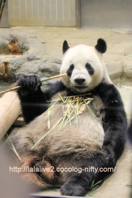 Giant_panda201709