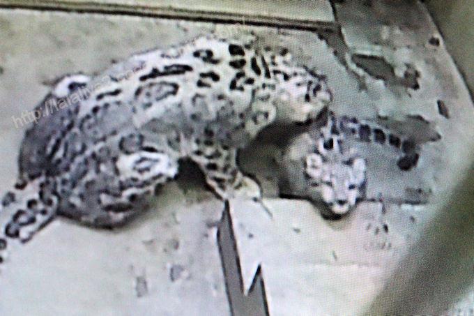 Snowleopardfuku2017101