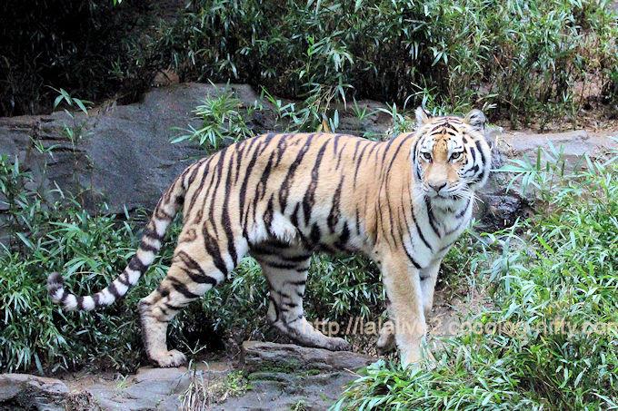 Tigerai201710