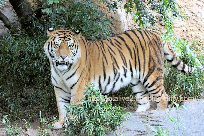 Tigerartjom201710