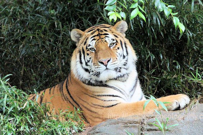 Tigerartjom2017101